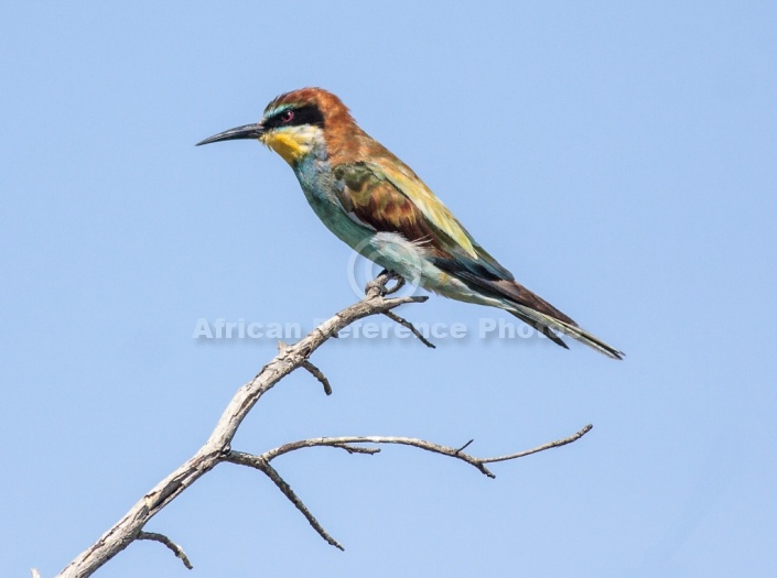 European bee eater size - photo#5