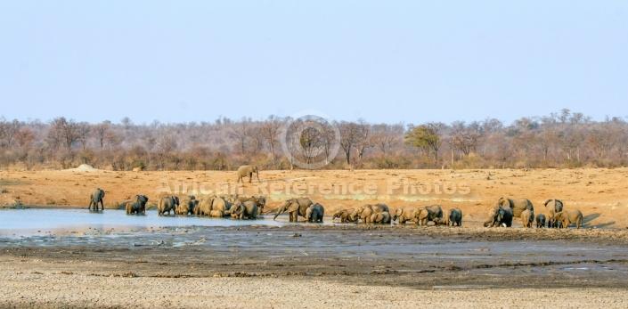 Elephant Herd Drinking, Panaromic View