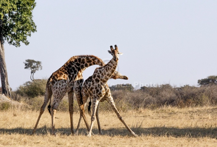 Giraffe Males Neck-Slamming