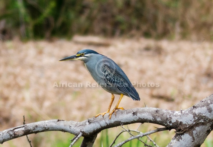 Green-backed Heron, Side View