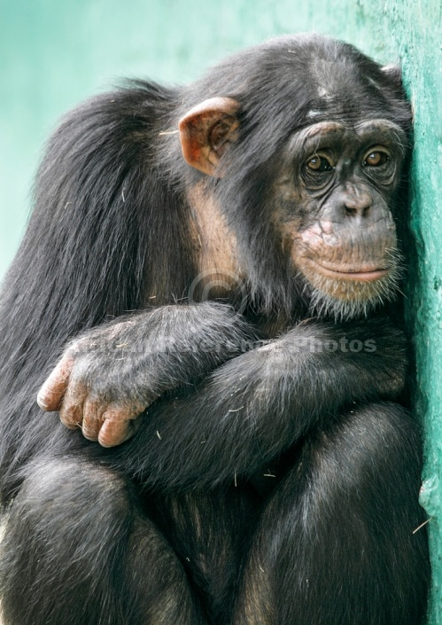 Chimpanzee Huddled Against Wall
