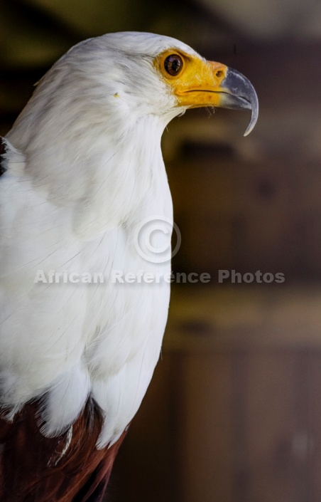 African Fish Eagle, Profile View