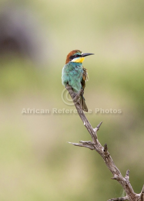 European bee eater size - photo#1