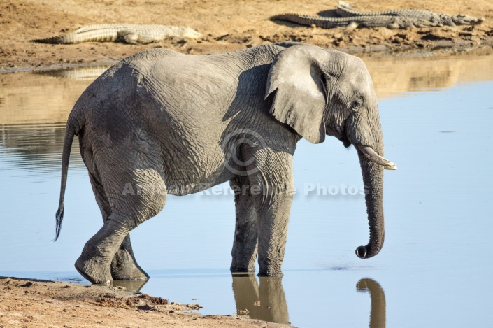 Elephant Using Trunk to Drink