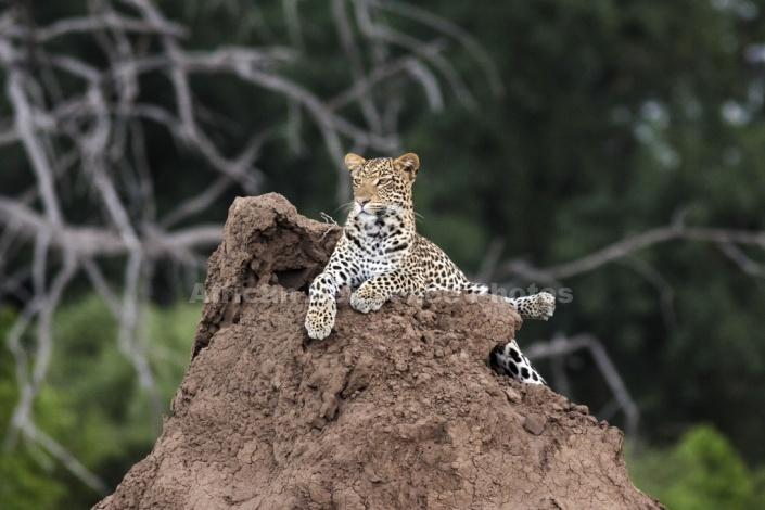 Leopard Atop Termite Mound