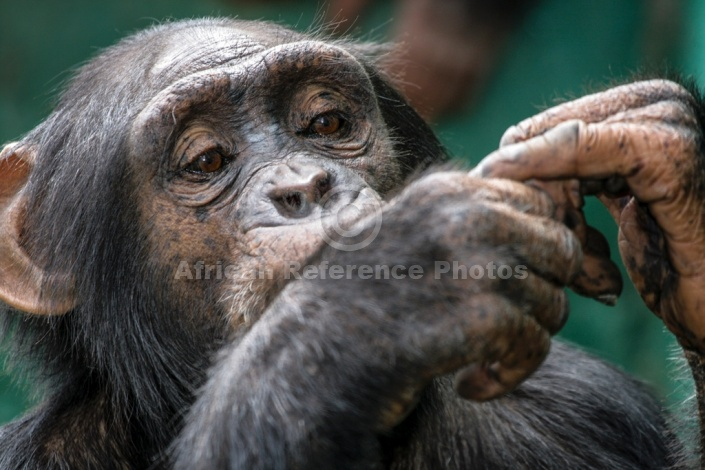 Chimpanzee Close-up of Head and Hands