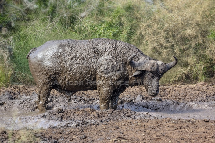 Buffalo Bull in Mud Wallow