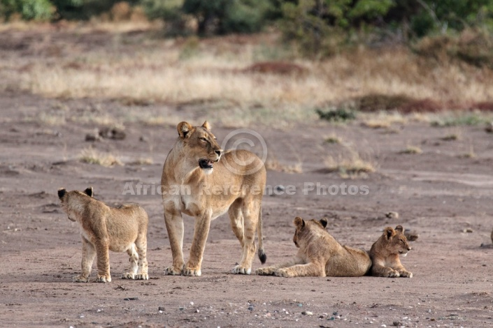 Lioness with trio of Cubs