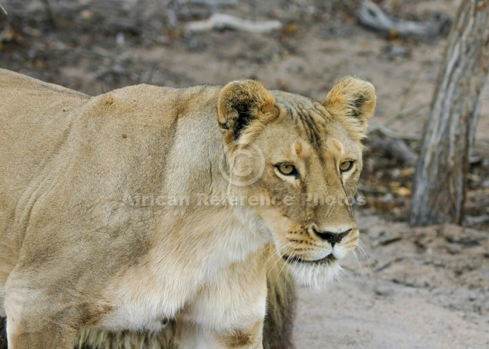 Lion Walking, Side View – African Reference Photos for ... - photo#15