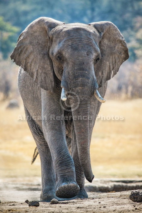 Elephant Walking with Purpose