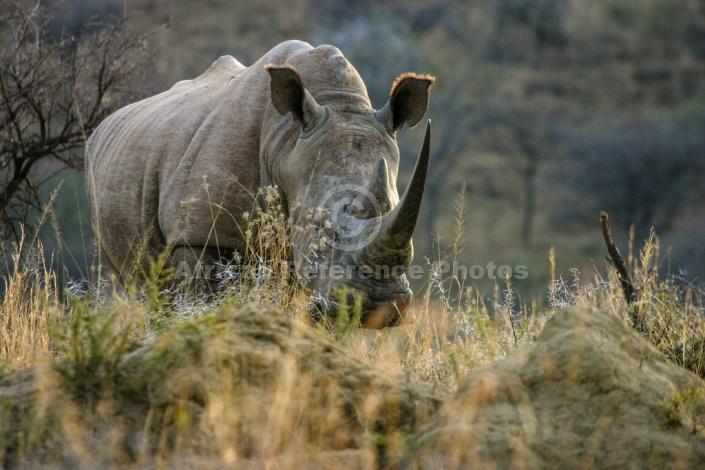 White Rhinoceros in Acacia Grassland