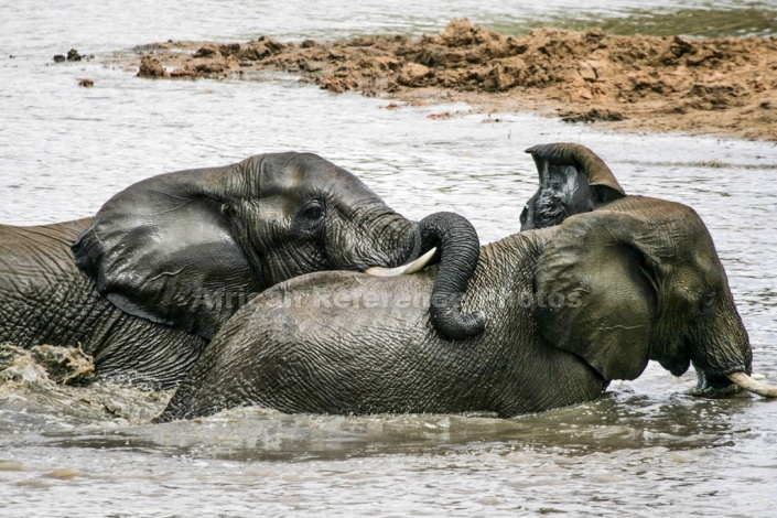 Elephants at Play in Shallows