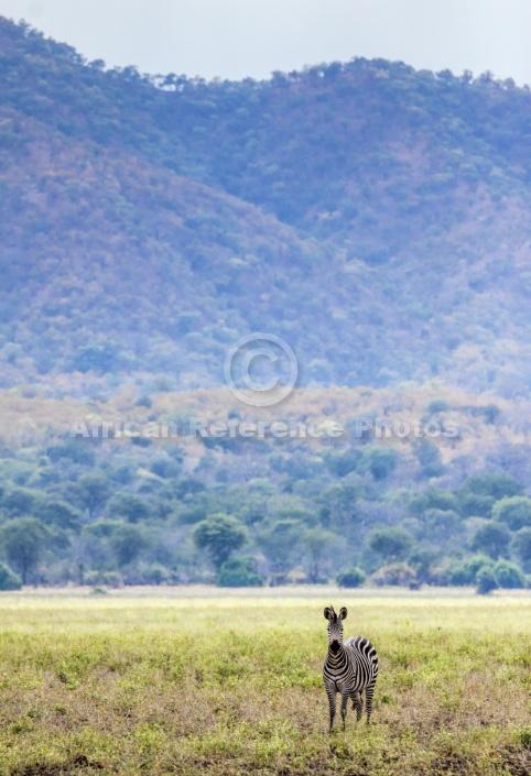 Zebra with Hills in Background