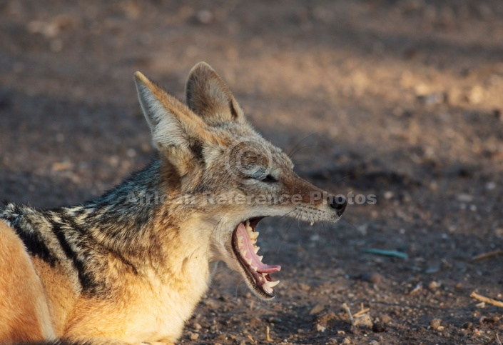 Black-backed Jackal Yawning, Side View