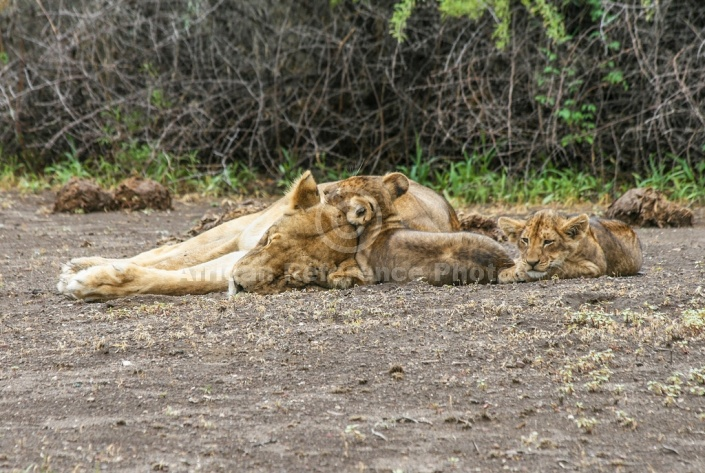 Lion Cubs and Lioness
