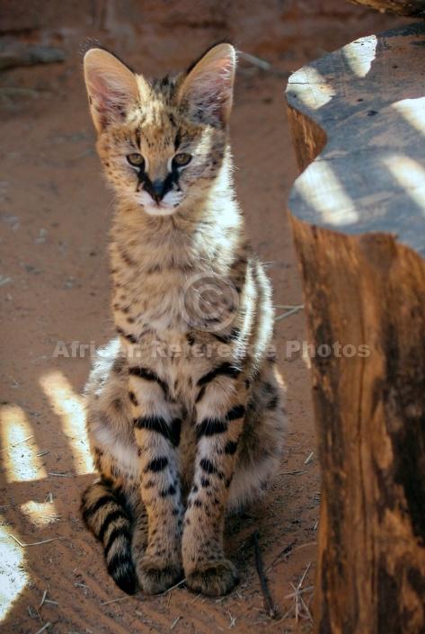 Serval Kitten Looking at Camera