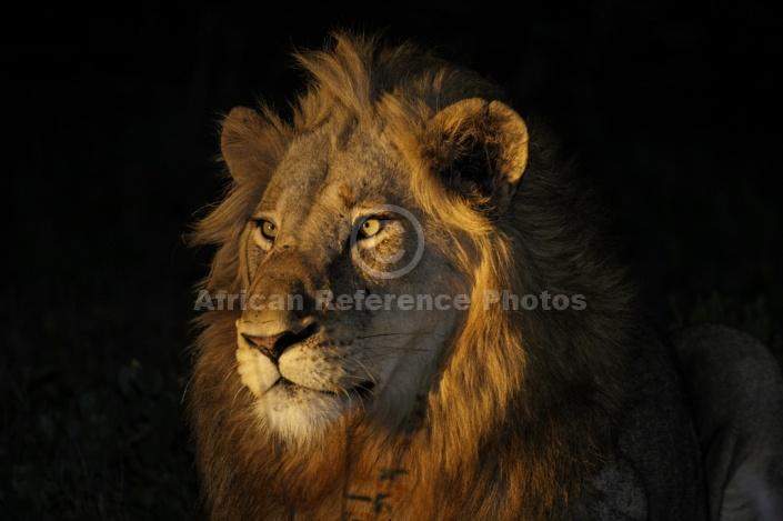 Lion Portrait at Night