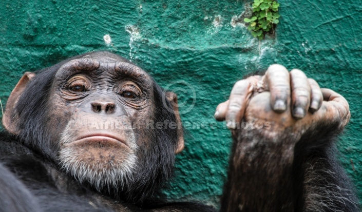 Chimpanzee with Hands Clasped