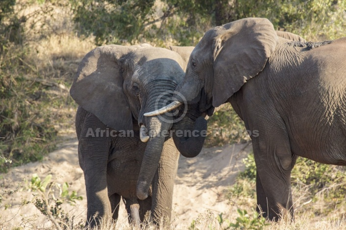 Elephant pair sparring