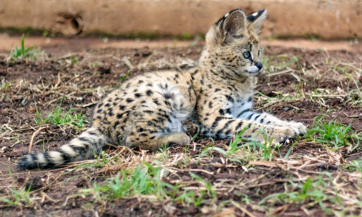 Serval Kitten Lying, side-on view