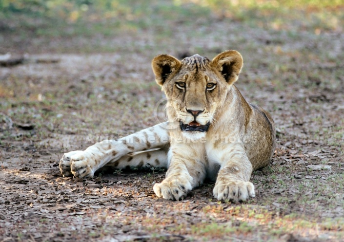 Lion Cub Relaxing in Shade