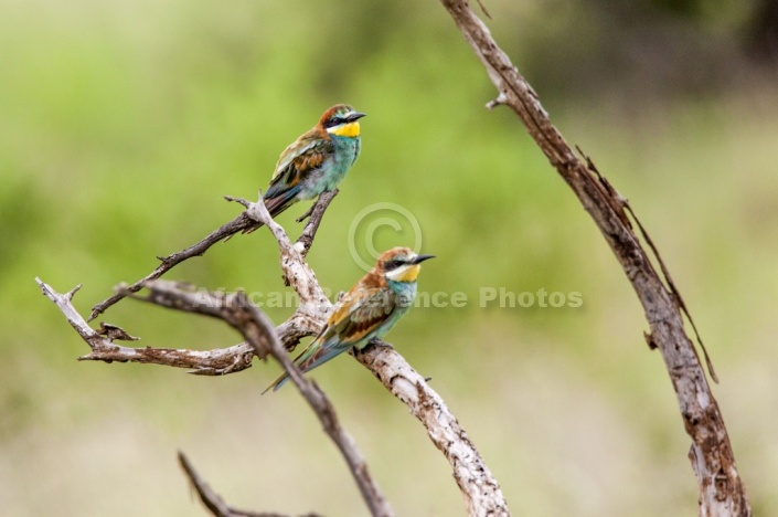 European bee eater size - photo#4