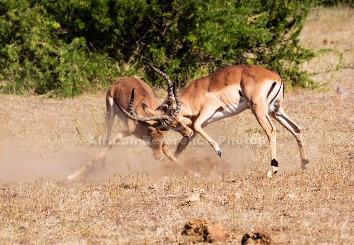 Impala Males Clashing Horns