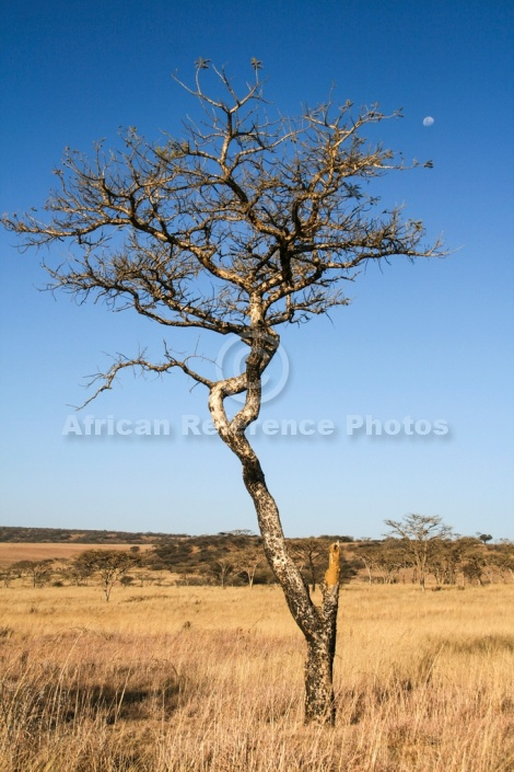 African Acacia Tree Against Blue Sky