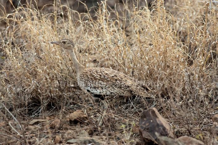 Red-Crested Korhaan, Kruger National Park