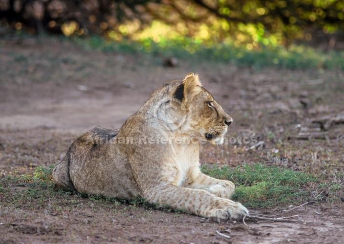 Juvenile Lion at Rest