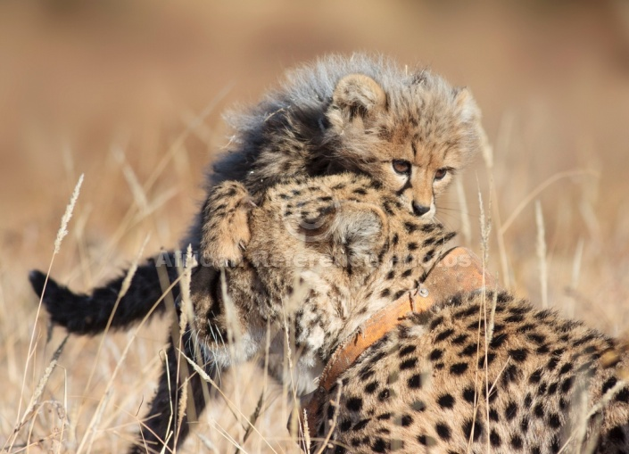 Cheetah Cub Clambering over Mother