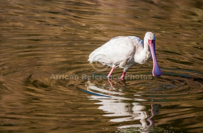 African Spoonbill on the Hunt