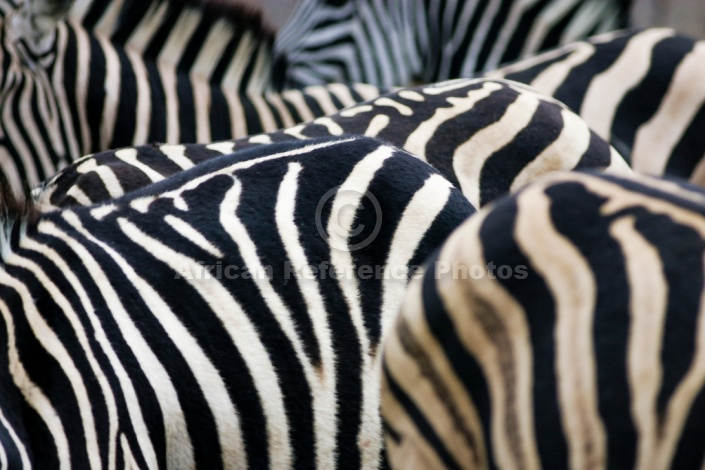 Zebra Group with Focus on Stripes