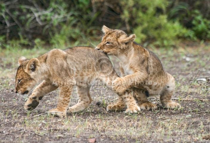 Lion Cub Nipping at Rump of Sibling