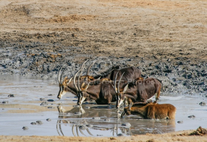 Roan Antelope Group Drinking from Waterhole