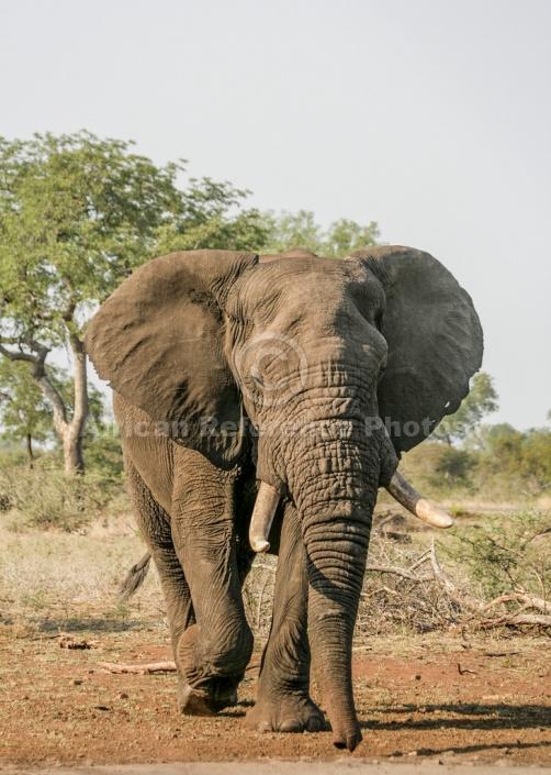 African Elephant Moving Towards Waterhole