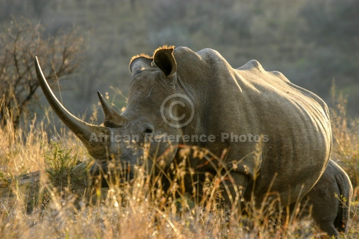 White Rhinoceros Female
