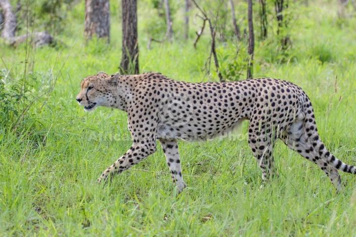 Cheetah Male Striding Out
