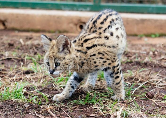 Curious Serval Kitten