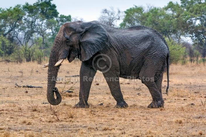 Elephant with Broken Tusks