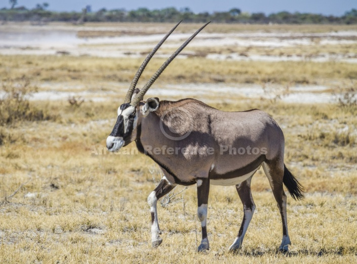 Gemsbok Walking, Side-on
