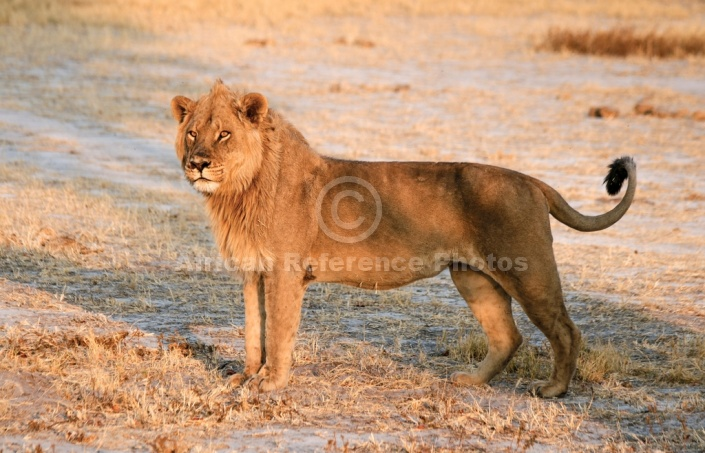 Young Male Lion in Warm Afternoon Sun