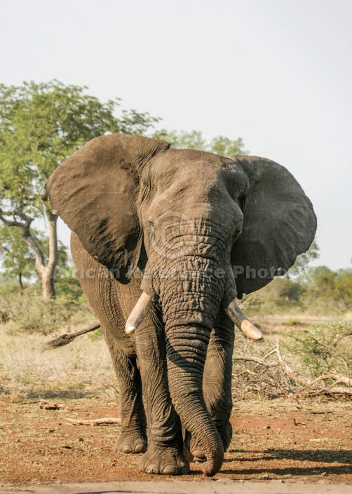 African Elephant Reference Image