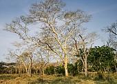 Fever Trees (Acacia xanthophloea)