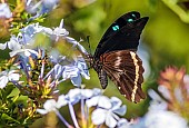 Blue-banded Swallowtail Butterfly  feeding on Plumbago nectar