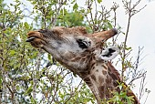 Giraffe using tongue to pluck leaves
