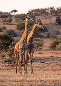 Male Giraffe Pair in Warm Light