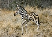 Young Zebra Foal, Side View