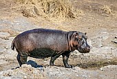 Hippo Standing in Open Ground