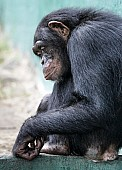Chimpanzee Crouching Against Wall